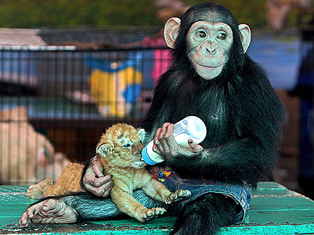 Simpanse adalah binatang primata tercerdas di dunia