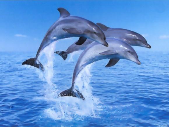 Lumba-lumba menggunakan sonar bunyi yang disebut echolocation