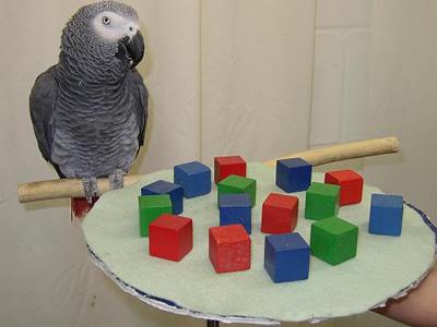 Kakatua Abu-Abu Africa adalah burung paling cerdas di dunia