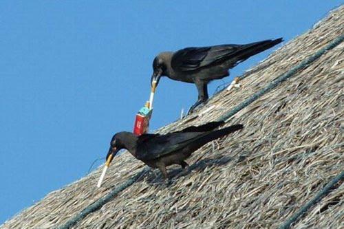 Burung Gagak adalah burung yang pandai