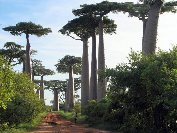 BAOBAB – MADAGASCAR