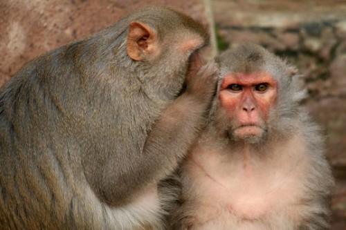 Monyet Rhesus ini juga memiliki kecenderungan psikologis yang mirip dengan manusia