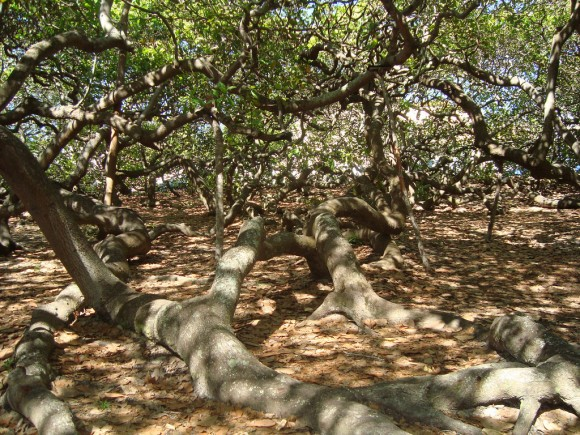 PIRANGI CASHEW TREE,BRAZIL