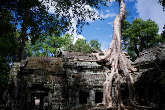 SILK COTTON TREES OF TA PROHM,CAMBODIA