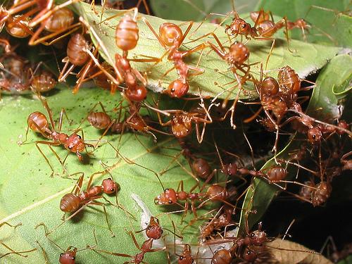 seekor semut mati