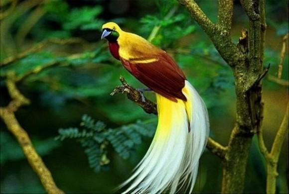 Lesser bird of paradise (Paradisaea minor)