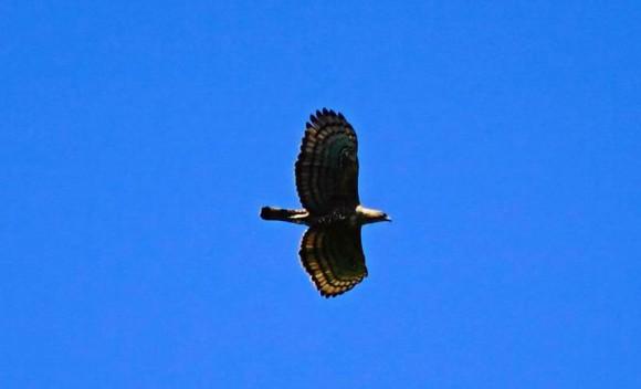 Elang Jawa (Spizaetus bartelsi)