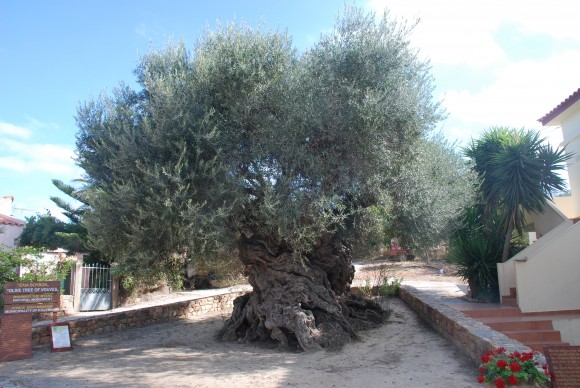 Olive tree of Vouves (4,000 years old)