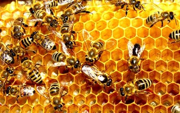 Keistimewaan Kisah Lebah Madu yang Membuat Takjub