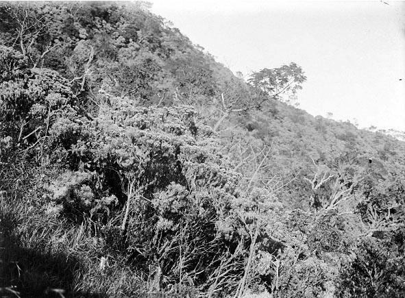 Edelweis di puncak gunung lawu tahun 1912